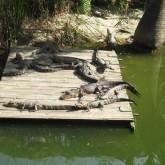gator beach destin